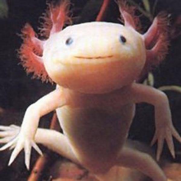 L'Axolotl (non ce n'est pas un Pokémon)