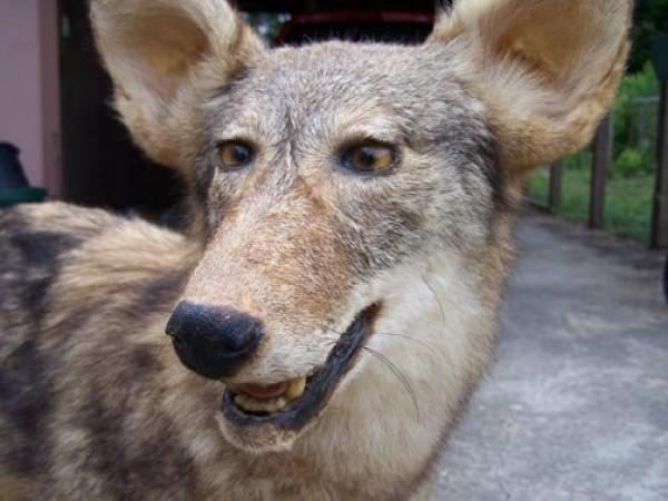 Le loup qui louche