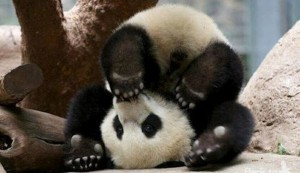 Voter pour panda