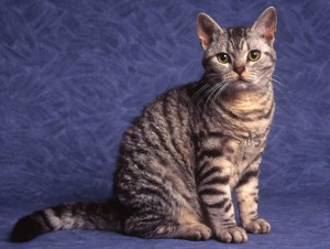 Voter pour American Wirehair