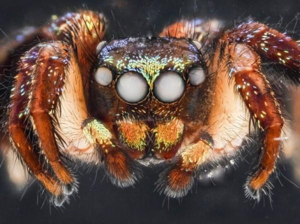 L' araignée sauteuse