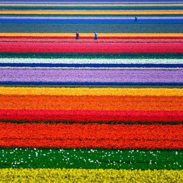 Hollande - Champs de Tulipes