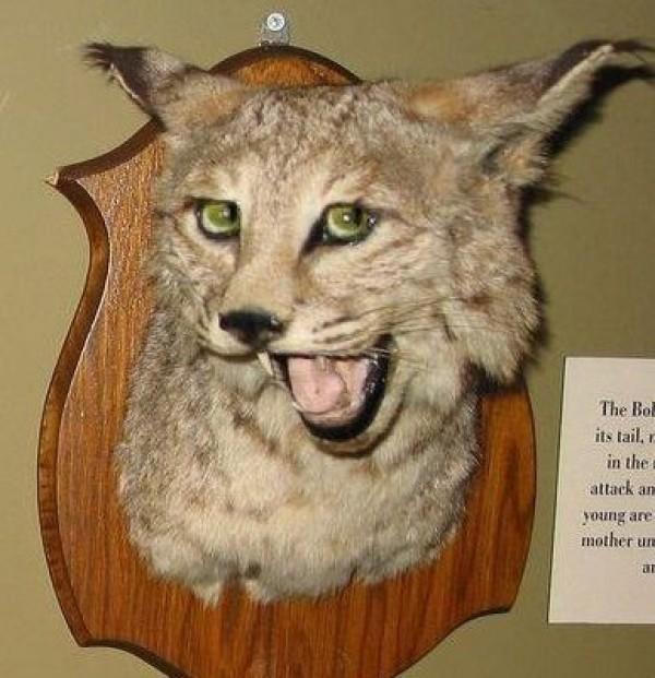 Le lynx qui a la classe