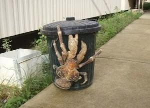 Voter pour Le crabe de cocotier géant