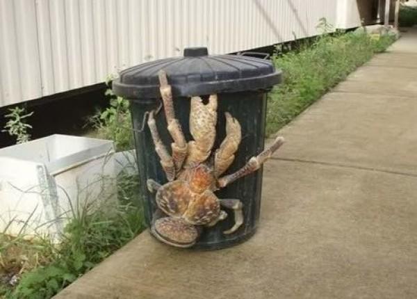 Le crabe de cocotier géant