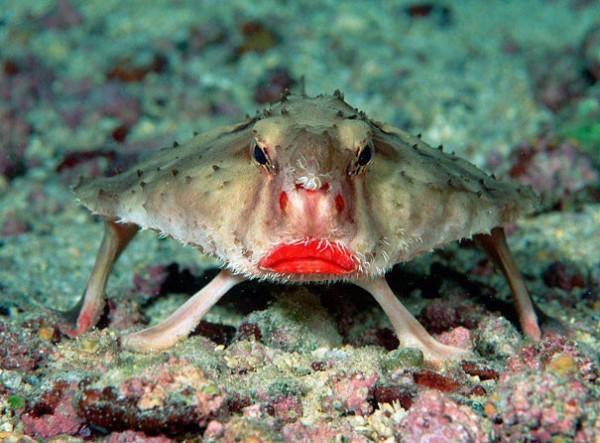 Le poisson chauve-souris