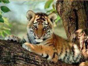 Voter pour tigre
