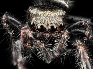 Voter pour Une araignée sauteuse