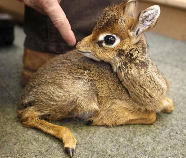 Bébé Antilope Naine (carrément)