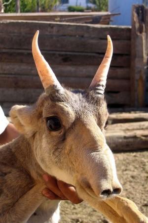 Voter pour L'antilope Saiga