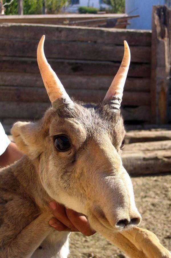 L'antilope Saiga