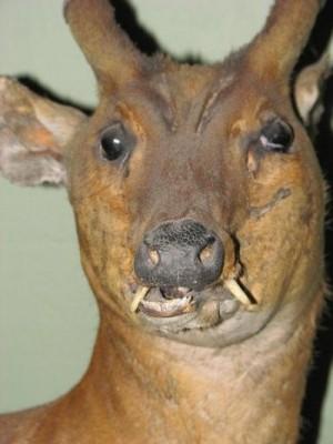 Voter pour Le cerf carnivore