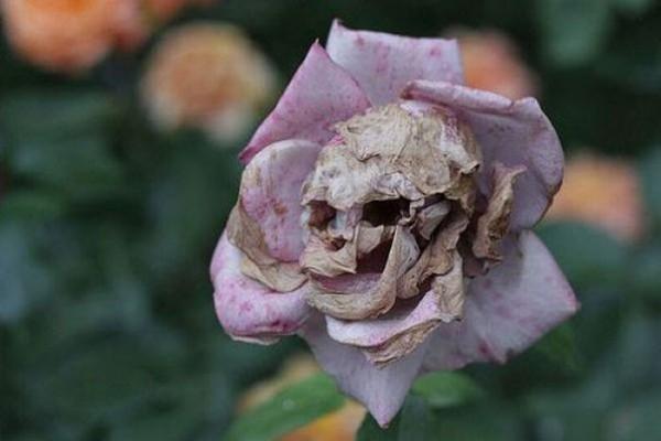 La rose tête de mort