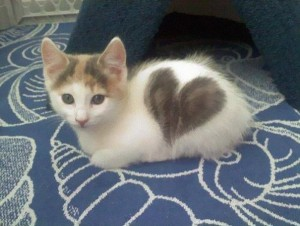 Voter pour 5 - Kitten With a Heart-Shaped Marking