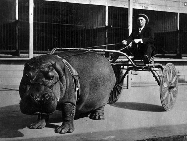 1924 : Un hippopotame de cirque pour tirer une calèche