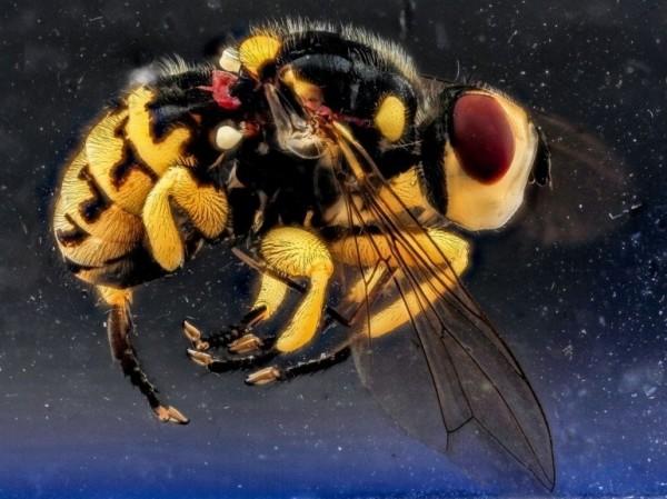 Une mouche jaune