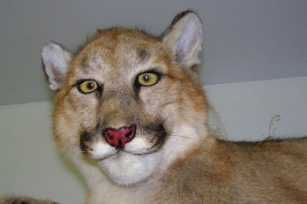 La lionne maquillée