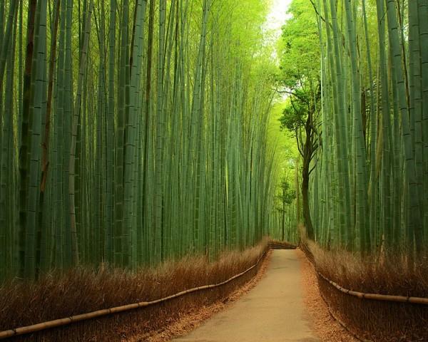 Japon - Forêt de bambous