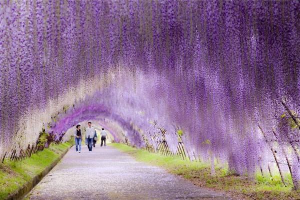 Japon - Tunnel de fleurs de Wisteria