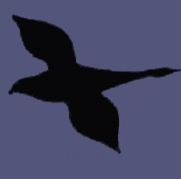 oie sauvage ou colombe