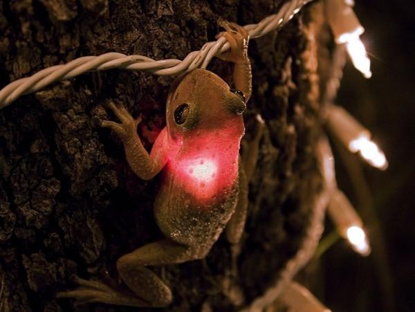 Grenouille LED