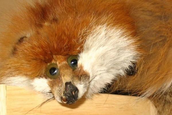 Le renard (je pense) crevé