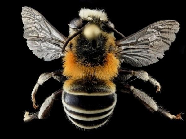 Une abeille Anthophora