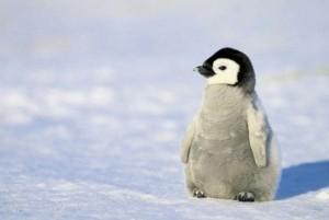Voter pour pingouin