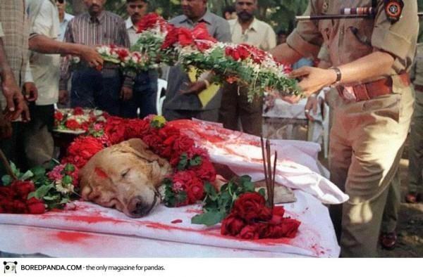 L'enterrement de Zanjeer, un chien qui a sauvé des milliers de vies en aidant a détecter des (...)
