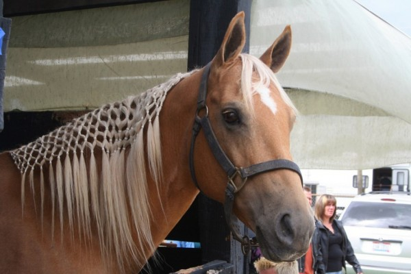 Le cheval arabe et le pur-sang arabe