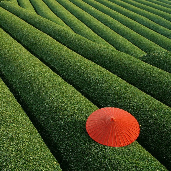 Chine - Champs de thé