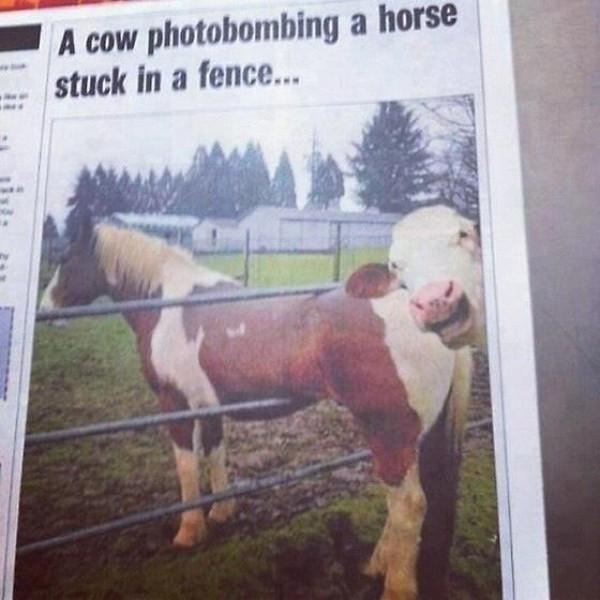 Photobombing de vache
