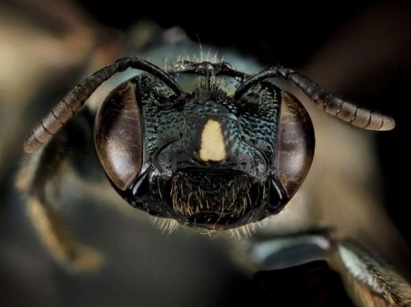 Une abeille charpentière