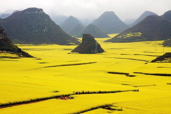 Chine - Champs de fleurs de Canola