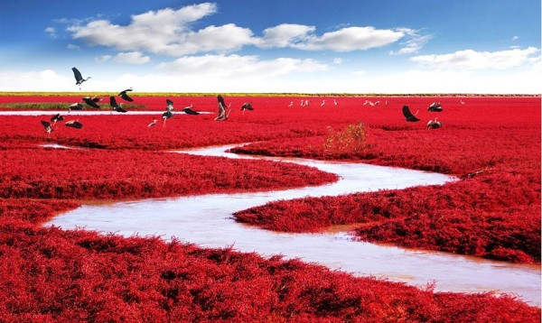 Chine - Plage rouge de Panjin
