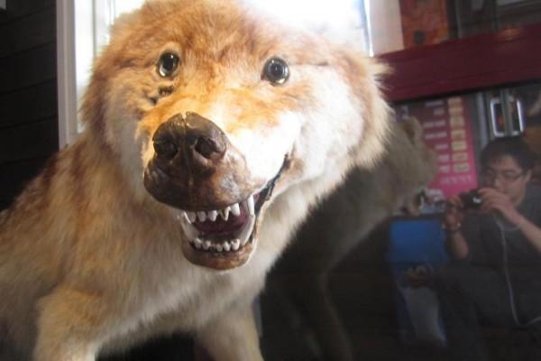 Le loup heureux, très heureux