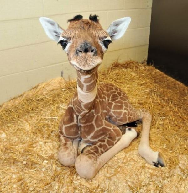 Bébé Giraffe